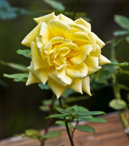 Una Rosa