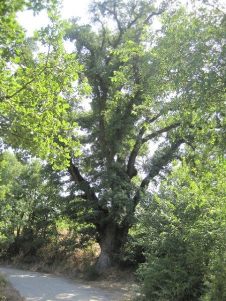 La 'quercia natale' di Celenza sul Trigno