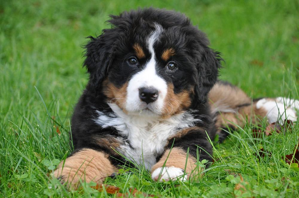 check out fc77e 5bc06 Il Bovaro del bernese è un cane da lavoro estremamente ...